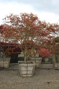 Acer palmatum 'Aka shigitatsu sawa' Specimen, 4 in, #36 box