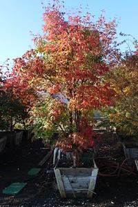 Acer griseum, Low Branch, Specimen 3 in, #30 box
