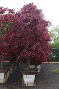 Acer palmatum 'Bloodgood' Specimen, 3 in, #30 box (3)