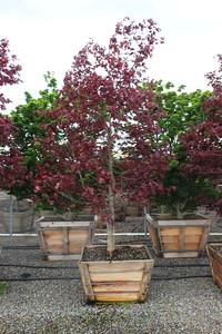 Acer palmatum 'Bloodgood' Specimen, 3 in, #36 box