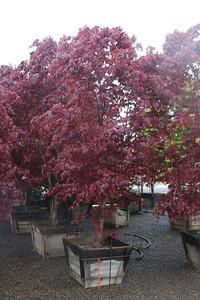 Acer palmatum 'Bloodgood' Specimen, 3 in, #30 box (2)