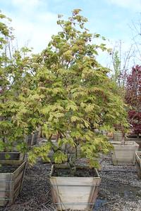 Acer jap  'Aconitifolium' Specimen 3 in #30 box