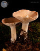 ABF-2012-418 Leucopaxillus albissimus