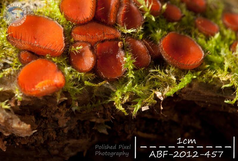 ABF-2012-457 Scutellinia scutellata