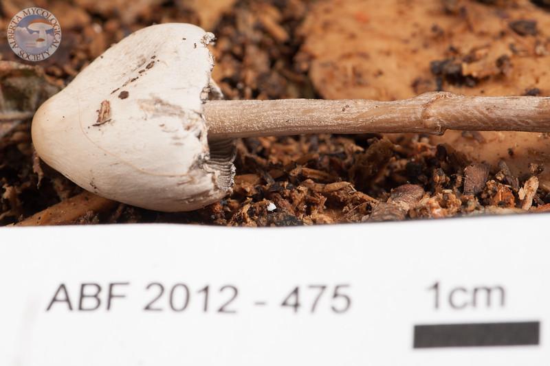 ABF-2012-475 Panaeolus sphinctrinus