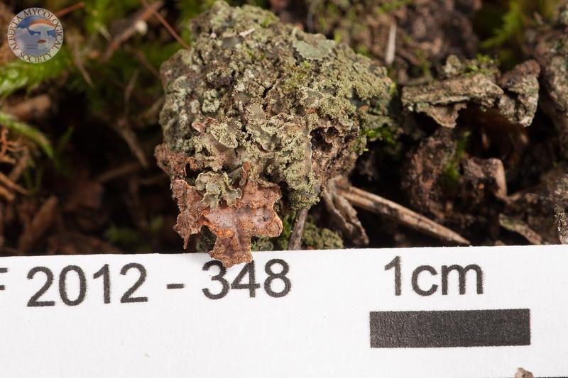 ABF-2012-348 Phaeophyscia orbicularis