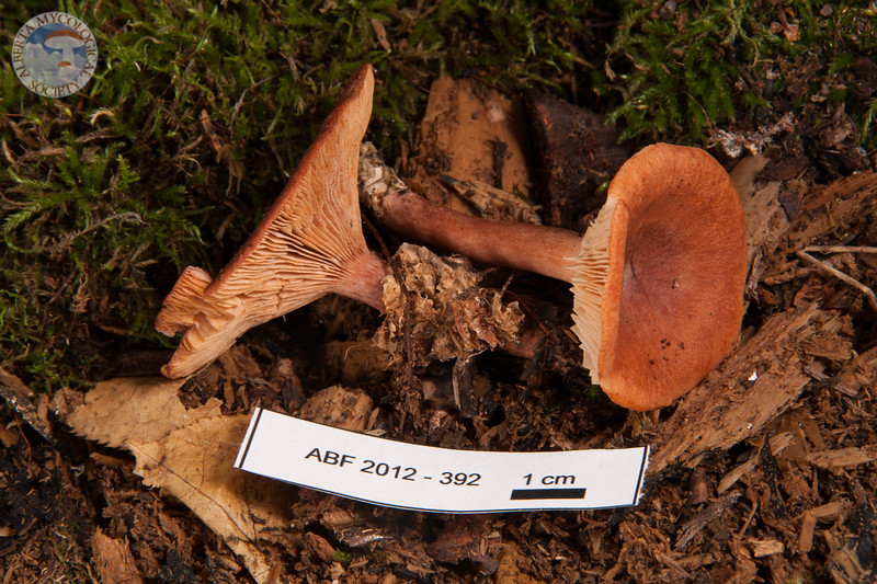 ABF-2012-392 Lactarius rufus