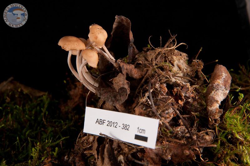 ABF-2012-382 Collybia confluens
