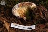 ABF-2012-361 Hypomyces chrysospermus