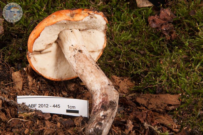 ABF-2012-445 Leccinum sp.