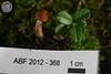 ABF-2012-368 Gymnopilus decipiens