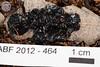 ABF-2012-464 Exidia glandulosa