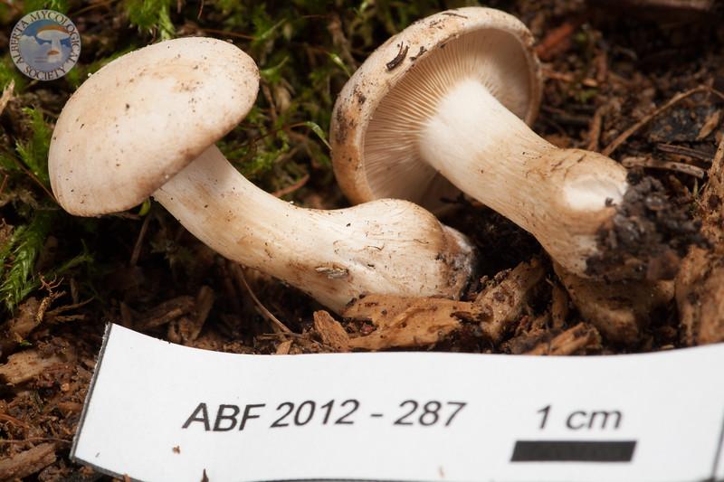 ABF-2012-287 Lyophyllum connatum