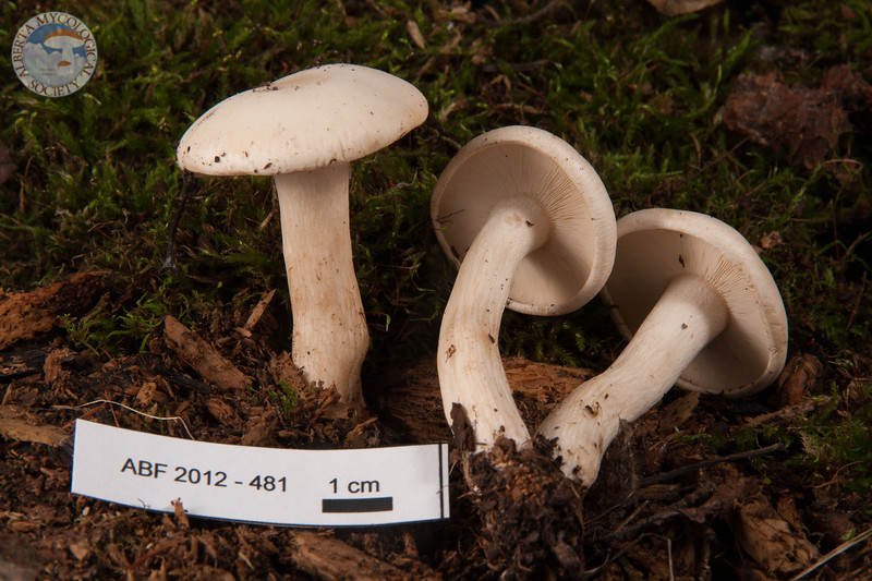 ABF-2012-481 Lyophyllum cf. connatum
