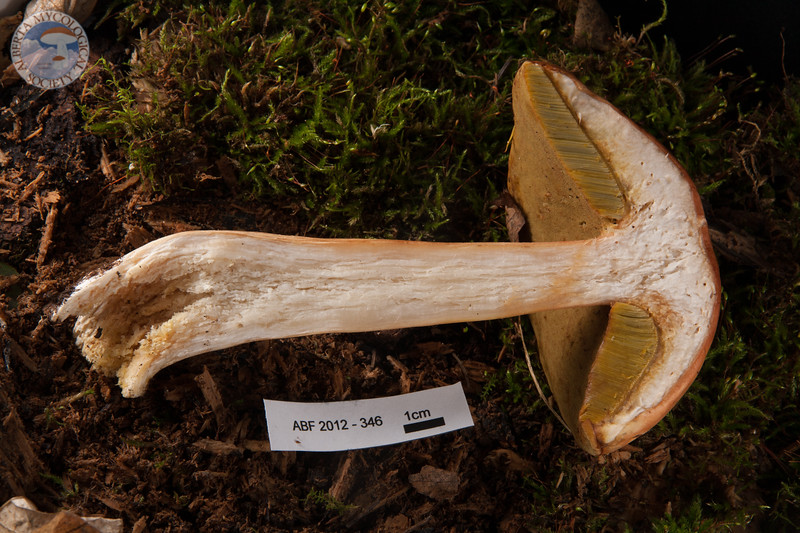 ABF-2012-346 Boletus edulis