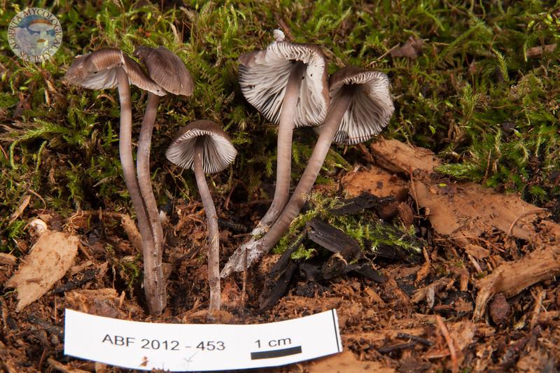 ABF-2012-453 Mycena flos-nivium