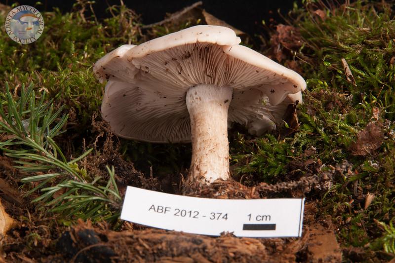 ABF-2012-374 Lepista glaucocana
