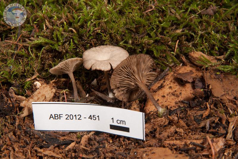 ABF-2012-451 Omphalina oniscus
