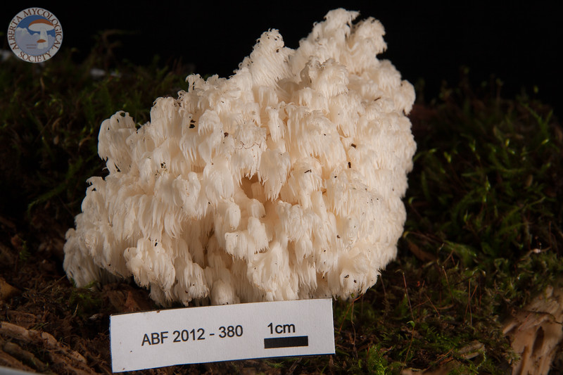 ABF-2012-380 Hericium coralloides