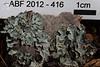ABF-2012-416 Parmelia sulcata