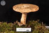 ABF-2012-372 Lactarius uvidus