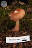 ABF-2012-484 Rhodocollybia butyracea