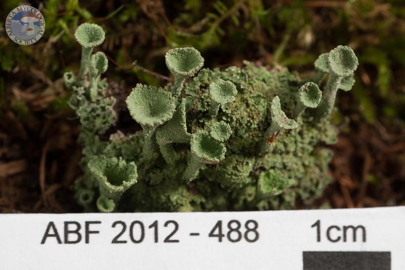 ABF-2012-488 Cladonia fimbriata