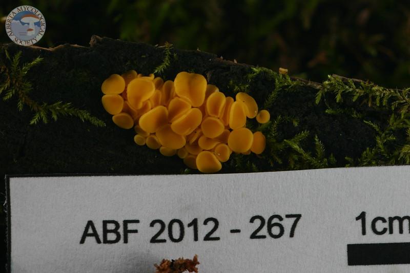 ABF-2012-267 Bisporella citrina