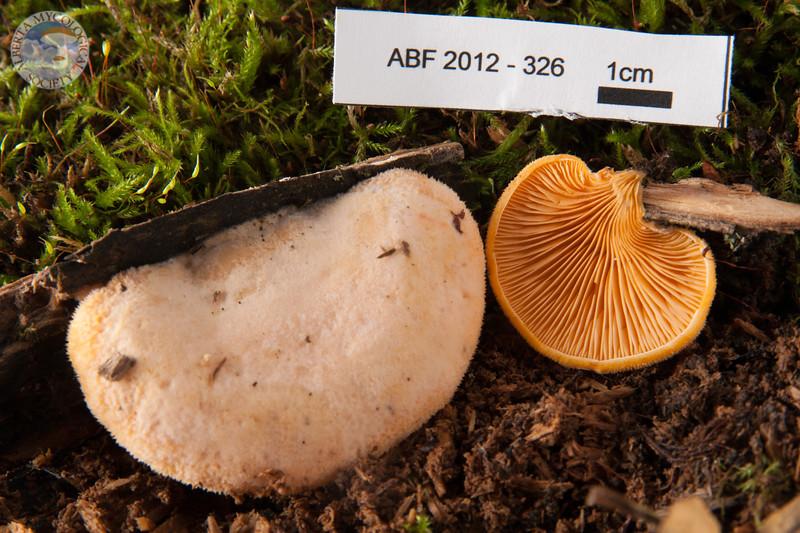 ABF-2012-326 Phyllotopsis nidulans