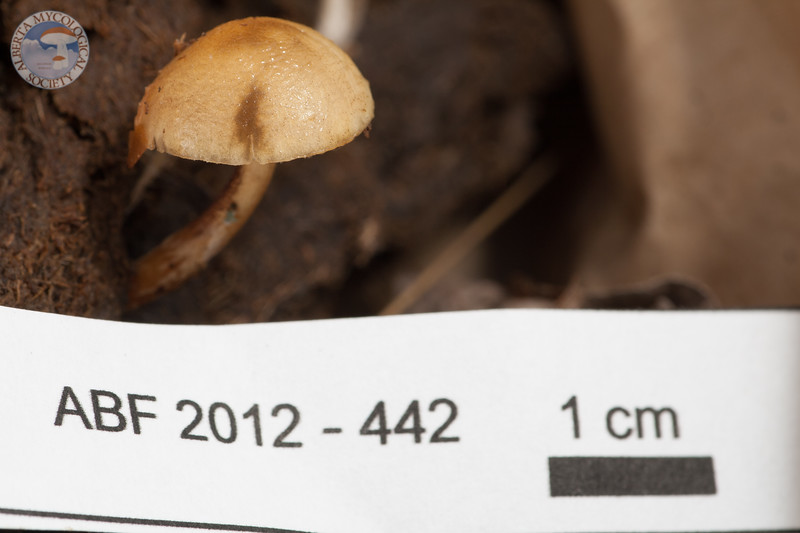 ABF-2012-442 Stropharia semiglobata