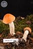 ABF-2012-477 Leccinum sp.