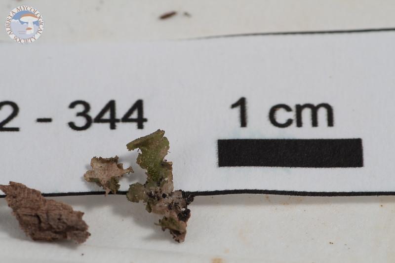 ABF-2102 344 Melanelia cf. exasperata