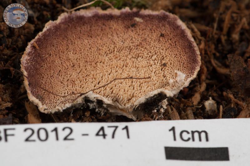 ABF-2012-471 Trichaptum biforme
