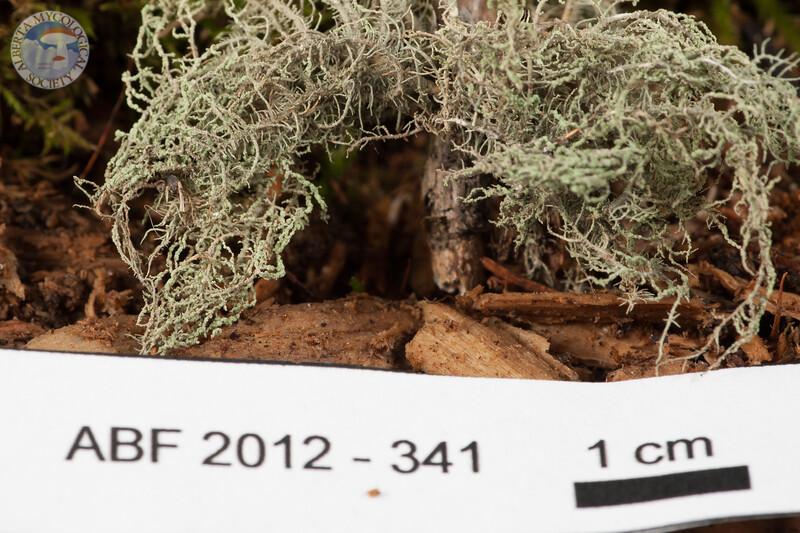 ABF-2013-341 Usnea substerilis