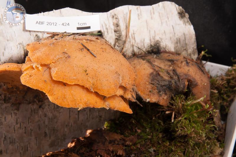 ABF-2012-424 Phyllotopsis nidulans
