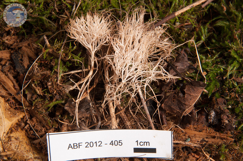 ABF-2012-405 Pterula multifida