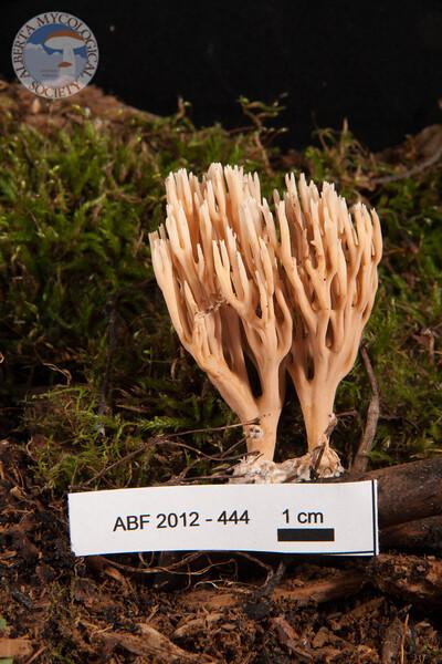 ABF-2012-444 Ramaria stricta