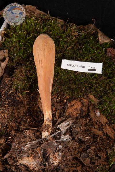 ABF-2012-459 Clavariadelphus pistillaris