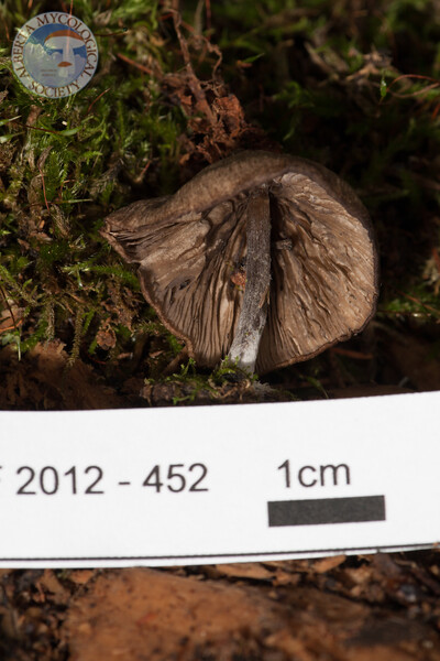 ABF-2012-452 Omphalina oniscus