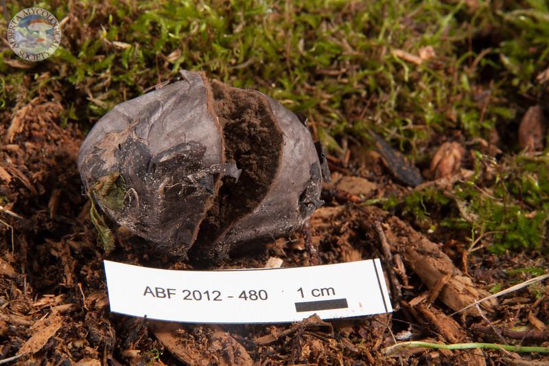ABF-2012-480 Bovista plumbea