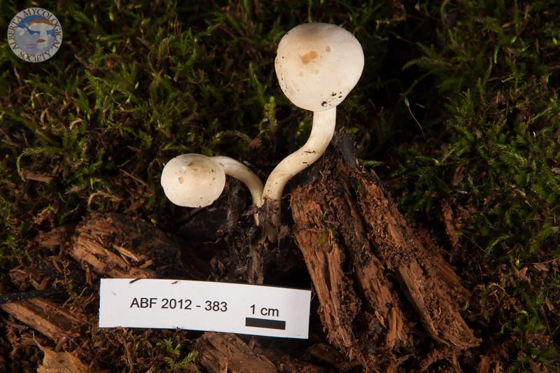 ABF-2012-383 Tricholoma inamoenum