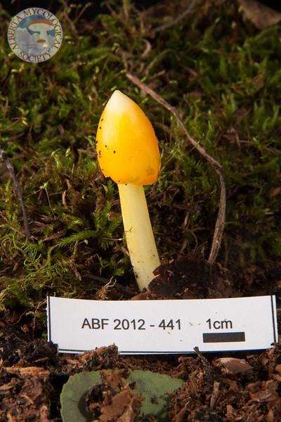 ABF-2012-441 Hygrocybe persistens