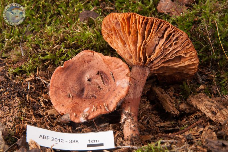 ABF-2012-388 Lactarius rufus