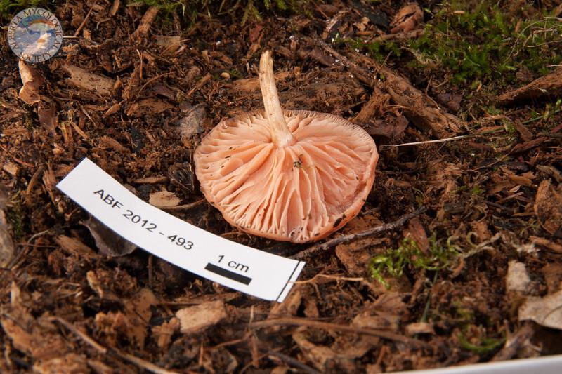 ABF-2012-493 Rhodotus palmatus