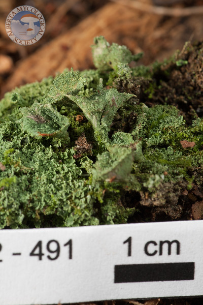 ABF-2012-491 Cladonia chlorophaea