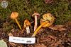 ABF-2012-443 Hygrophorus conicus
