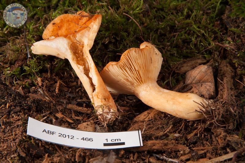 ABF-2012-466 Lactarius theiogalus