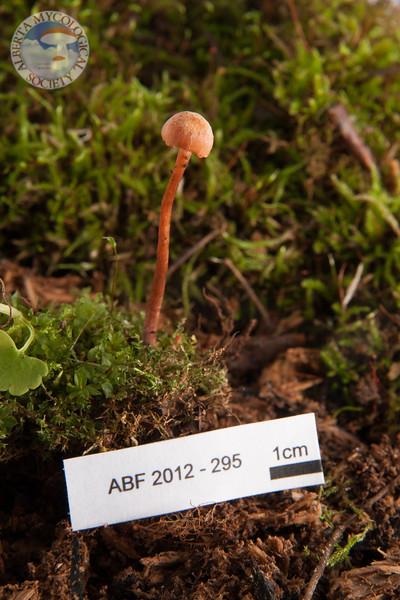 ABF-2012-295 Laccaria laccata