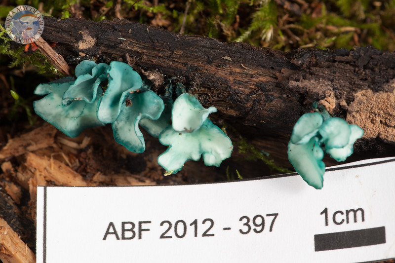 ABF-2012-397 Chlorociboria aeruginascens