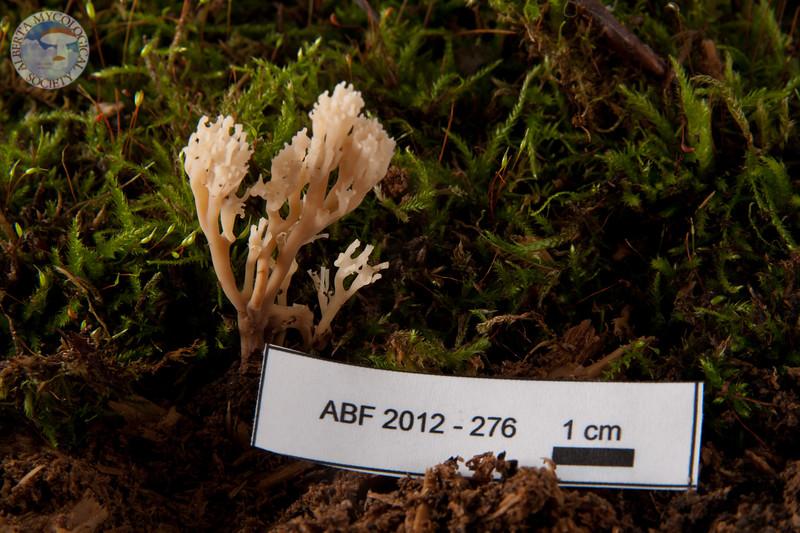 ABF-2012-276 Clavicorona pyxidata